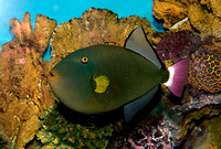 Pink-tailed Triggerfish